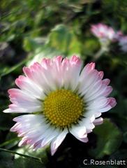Gänseblümchen2