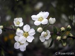 kleineBlütenweiss