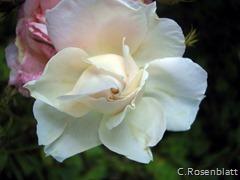 Rosenwirbel