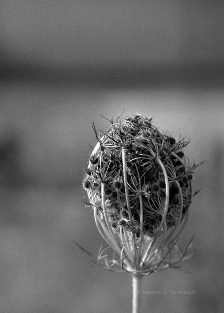 Schwarzweißbild einer Wiesenpflanze dessen Blütenkopf zu einem Ball zusammengelegt ist viele zarte Fasern und feine Stacheln sind von außen erkennbar
