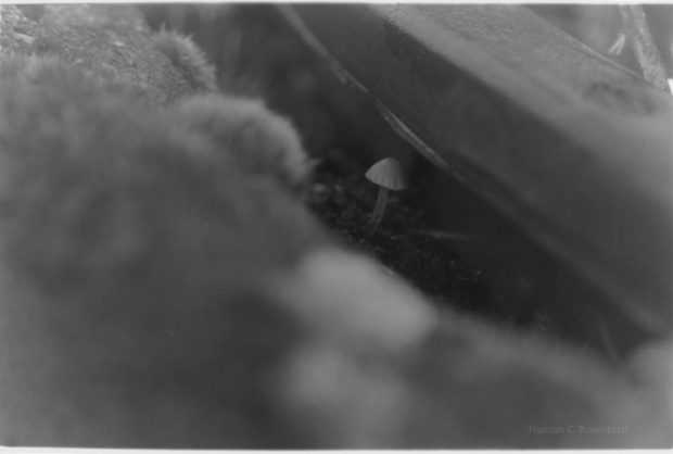 ein horizontales schwarz-weiß- Foto, in dessen Mitte ein etwa 2 Zentimeter großer Pilz zu sehen ist. Er wächst unter dem Plastikrand eines eingegrabenen Eimers. Außerdem sind kleine Moosbüschel andeutungsweise zu erkennen.